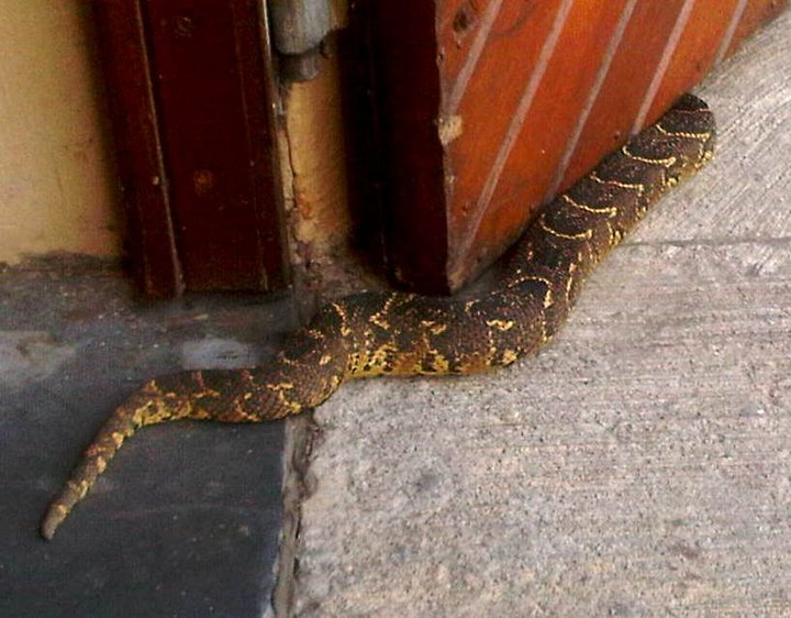 Topical pic – puff adder in Graham Beck Wines cellar