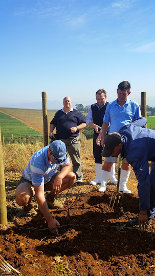 New Cab clone planted at Ernie Els Wines
