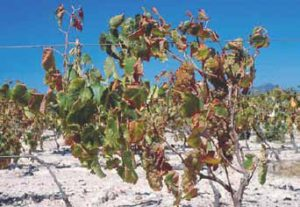 Drought-affected vines.