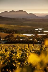 View onto the vineyards of Jordan Winery at sunrise, Stellenbosch, Western Cape, South Africa