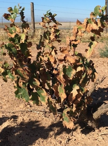 A drought-affected vine in the Swartland.
