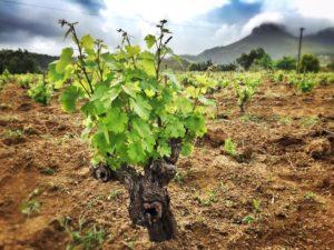 Old vines.
