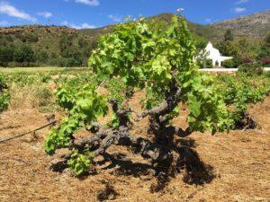 old-vines2
