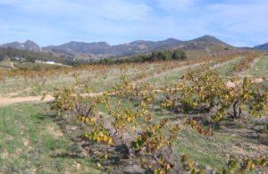 Swartland chenin vineyard