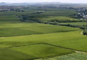 High yielding Orange River vines