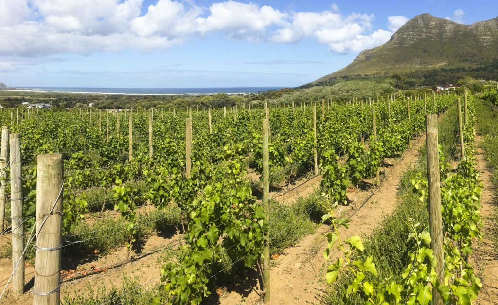 The vines of Cape Point Vineyards are cooled by salty sea breezes off the Atlantic Ocean.