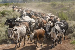 nguni cows herd